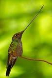Шпаг-представленный счет колибри, ensifera Ensifera, замечены, что как единственный вид птицы имеет счет более длиной чем остальн стоковое фото rf