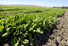 шпинат урожая Стоковые Изображения RF