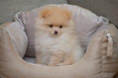 Шпиц Pomeranian в кровати собаки Стоковая Фотография