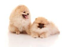 Шпиц 2 Pomeranian на белой предпосылке Стоковые Изображения