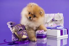 Шпиц Pomeranian щенка рождества Стоковая Фотография RF