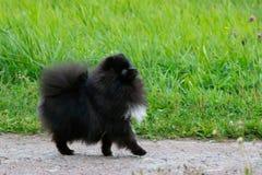 Шпиц Pomeranian щенка слушает к предпринимателю и выполняет функции на команде стоковая фотография rf