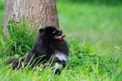 Шпиц Pomeranian щенка слушает к предпринимателю и выполняет функции на команде стоковые фотографии rf
