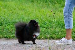 Шпиц Pomeranian щенка слушает к предпринимателю и выполняет функции на команде стоковые изображения rf