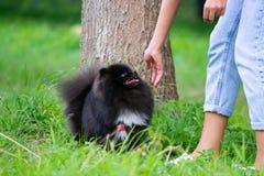 Шпиц Pomeranian щенка слушает к предпринимателю и выполняет функции на команде стоковое фото