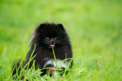 Шпиц Pomeranian щенка слушает к предпринимателю и выполняет функции на команде стоковое изображение