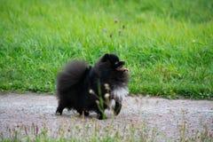 Шпиц Pomeranian щенка слушает к предпринимателю и выполняет функции на команде стоковые фото