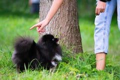 Шпиц Pomeranian щенка слушает к предпринимателю и выполняет функции на команде стоковое фото rf