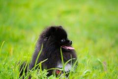 Шпиц Pomeranian щенка слушает к предпринимателю и выполняет функции на команде стоковые изображения