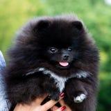Шпиц Pomeranian щенка слушает к предпринимателю и выполняет функции на команде стоковая фотография