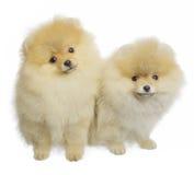 Шпиц Pomeranian Стоковые Фотографии RF