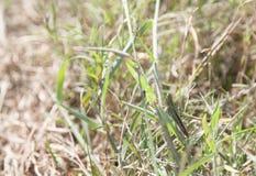 шпора кузнечика throated Стоковая Фотография