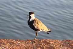 Шпор-подогнали lapwing или spinosus Vanellus озером Стоковые Изображения RF