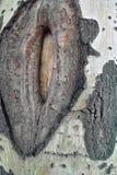 Шрам дерева Стоковое фото RF