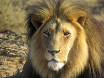 Шрам смотрел на льва стоковые изображения rf