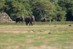 Шриланкийск слон в диком стоковое фото