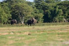 Шриланкийск слон в диком стоковое изображение