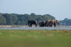 Шриланкийск слон в диком стоковые изображения rf