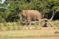 Шриланкийск слон в диком стоковые изображения
