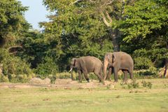 Шриланкийск слон в диком стоковые фото