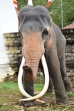Шриланкийск maligawa Канди Dalada слона стоковое изображение