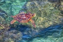 Шри-Ланка - заплывание черепахи в прибрежных волнах стоковые фотографии rf