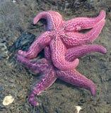 2 штабелированных морской звёзды Стоковое Изображение