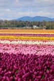 Штат Вашингтон, тюльпаны Mulitcolor долины Skagit Стоковые Изображения RF