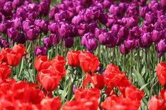 Штат Вашингтон, тюльпаны Mulitcolor долины Skagit Стоковые Фото