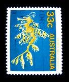 Штемпель напечатанный в Австралии показывает изображение густолиственного дракона моря на значении на центе 33 Стоковые Изображения