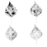 Штемпель лист березы Стоковая Фотография