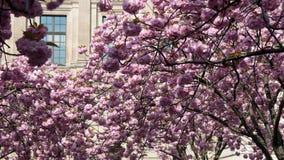 шток frankfurt обменом вишни цветения Стоковая Фотография