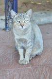 Шторки кота Стоковое Изображение