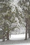 Шторм сильного снегопада и высокорослые сосны Стоковые Изображения RF