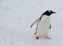 шторм снежка пингвина gentoo светлый Стоковое Фото