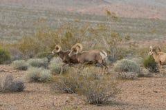 Штоссели снежных баранов пустыни стоковое изображение