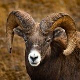 Ram стоковое изображение rf