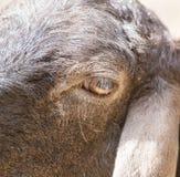 Штоссель глаза Стоковая Фотография RF