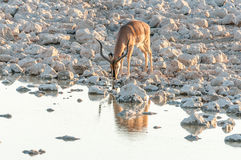 Штоссель импалы, melampus Aepyceros, питьевая вода на заходе солнца Стоковое фото RF