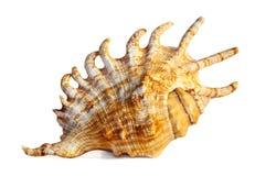 штраф изолировал раковину моря Стоковое Изображение RF