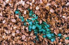 Штриховатость зеленого плюща Стоковые Фото