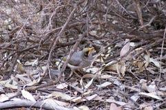 Шумная горнорабочая, Wilpena, SA, Австралия стоковое изображение rf