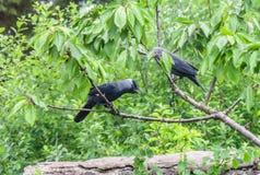 Шумные вороны садились на насест на вишневом дереве в Британии Стоковые Изображения RF