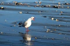 Шумные красно-представленные счет novaehollandiae larus чайки Стоковая Фотография