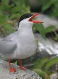 шумный tern Стоковая Фотография RF