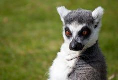 шуточное замкнутое кольцо lemur выражения Стоковая Фотография RF