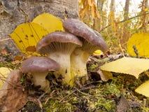 Шламистый лес падения листьев осины желтого цвета Шип-крышки стоковое фото rf