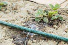 Шланг сада с свежей водой спринклера распыляя Стоковые Изображения