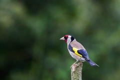 Щегол щегла Goldfinch на ветви Стоковые Изображения