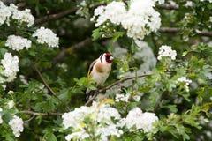 Щегол щегла Goldfinch на ветви Стоковое Изображение